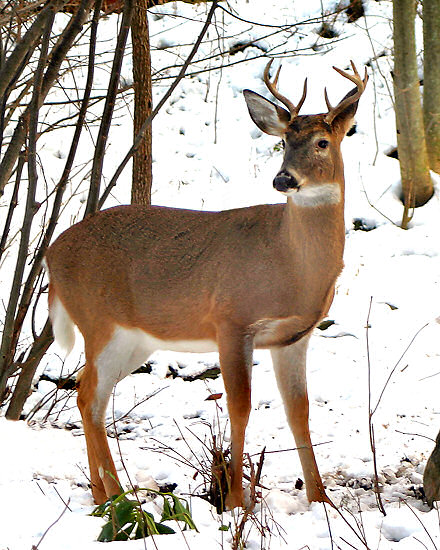 Pics Of Deer In Snow. whitetail deer buck with